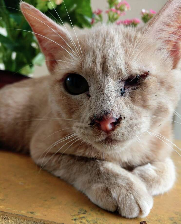 San Antonio Pets Alive! is asking the public for donations for its five-month kitten that needs eye removal. Photo: San Antonio Pets Alive!