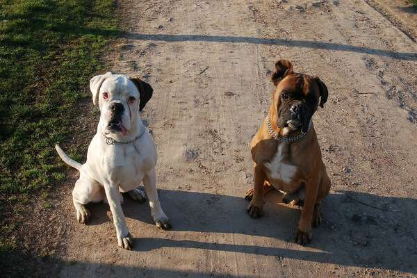 #32. Boxer (tie) - Understanding of new commands: 25 to 40 repetitions - Obey first command: 50% of the time or better Boxers are well celebrated by the AKC and have won Best in Show at Westminster four times: in 1947, 1949, 1951, and 1970. Training can pay off, but trainers need to be patient and consistent-this intelligent breed invents their own form of obedience. This slideshow was first published on theStacker.com