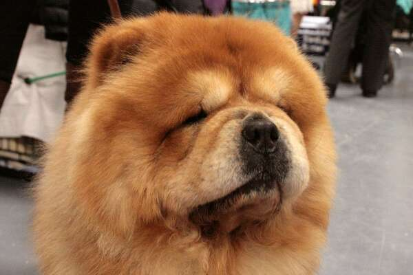 #4. Chow Chow - Understanding of new commands: 80 to 100 repetitions or more - Obey first command: 25% of the time or worse Chow Chows are intensely loyal, but can be stubborn. They need repetition, early and often. This slideshow was first published on theStacker.com
