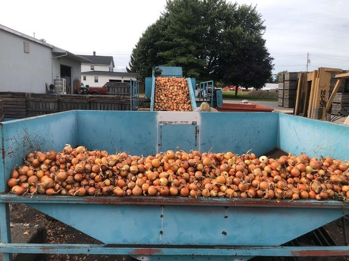 Onions continue to be harvested at Pawelski Farms in Orange County, NY. So far in 2019, the farm has trucked out two tractor-trailer loads of onions totaling 1,800 50-pound bags at a price of $8 a bag. But according to its owner, it's hardly enough to cover the cost of labor, chemicals, fertilizer and seeds.