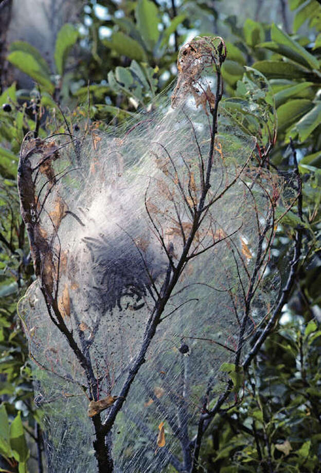 Fall webworm tent caterpillars on a cherry tree. Wild Horizons | Universal Images Group (Getty Images)