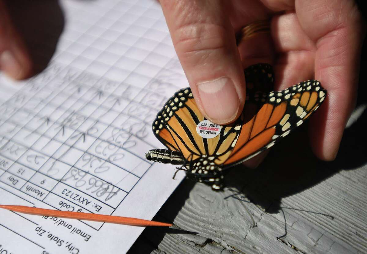 A Monarch butterfly is tagged at the Audubon Coastal Center in Milford, Conn. on Thursday, September 26, 2019 as part of the Monarch Watch tagging citizen science project. The small adhesive tags don't affect the butterflies' ability to fly.
