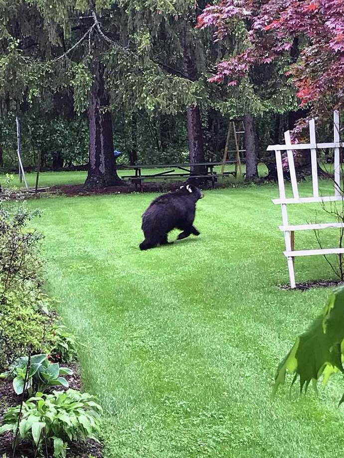 A black bear was spotted on May 17, 2018, in Bethel in the area of Greenwood Avenue to Parloa Park, heading south. Photo: Contributed Photo / Bethel Animal Control / Connecticut Post Contributed