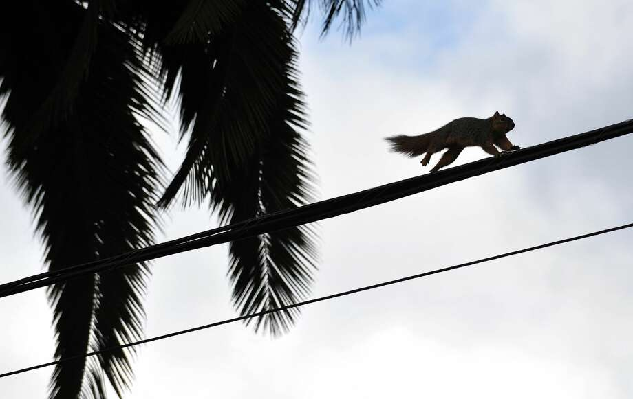 A squirrel has been blamed for a power outage that affected more than 7,000 New Braunfels residents and businesses on Sunday morning. In this photo, A squirrel runs across an electrical wire in Los Angeles on March 6, 2012, in California.  Photo: FREDERIC J. BROWN/AFP/Getty Images