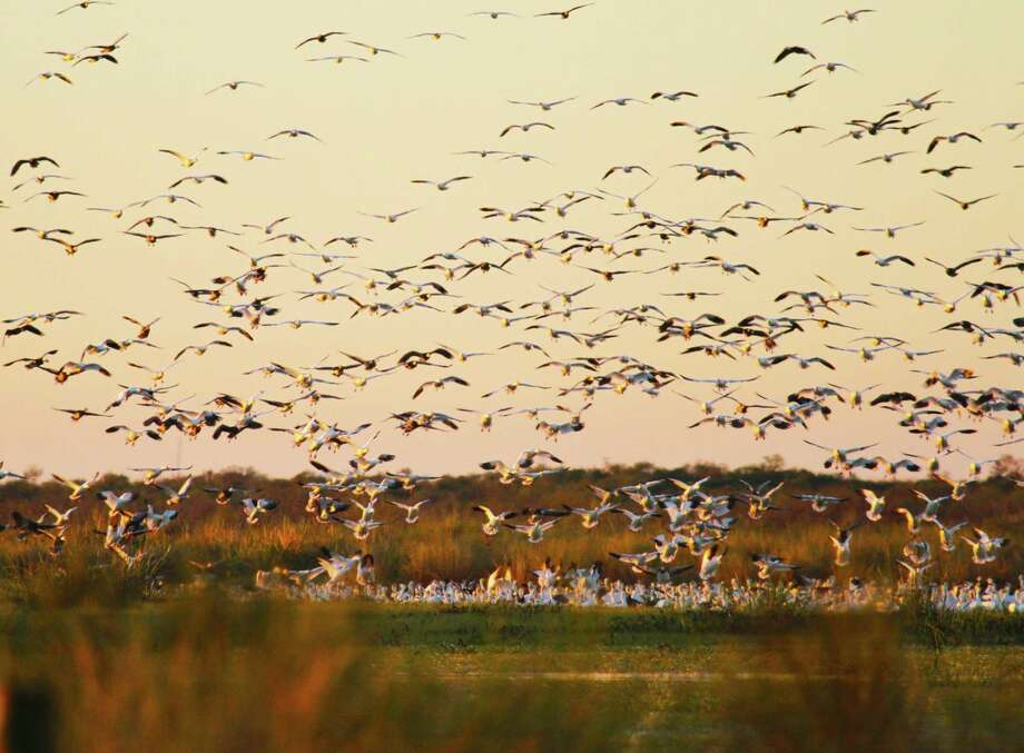 The number of snow geese wintering on the Texas coast continues declining as the birds shift wintering areas to the north. Photo: Shannon Tompkins / Houston Chronicle