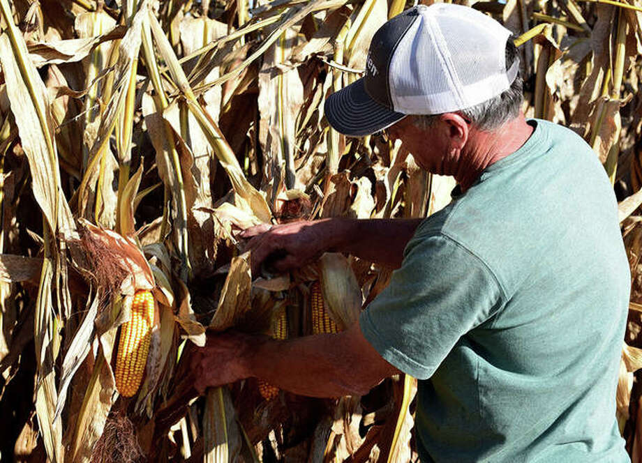 Paul Scheerer, owner of Fly By Farm near Jacksonville, examines his corn crop Monday. It was Scheerer's first day of working on harvesting the field. Photo: Marco Cartolano | Journal-Courier