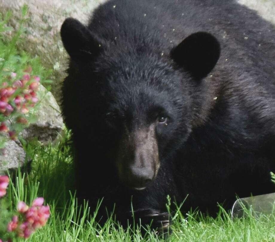 A black bear visits a Wilton, Conn., backyard near Cranbury Park in May 2019. Photo: Contributed Photo / Karen Reid / Wilton Bulletin Contributed