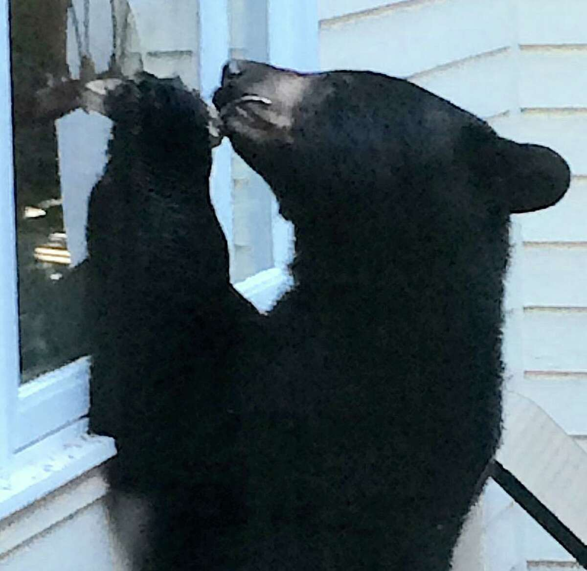 Black bears were spotted prowling through local neighborhoods several times last summer, none more dramatically than when Barbara Ross-Innamorati snapped this photo of a bear that visited her Charcoal Hill Commons home's deck.