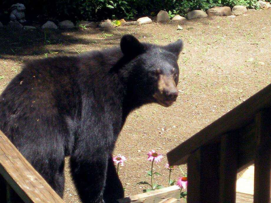 A bear was sighted in Payne Drive, near Wolf Hill Road in Cheshire on Tuesday, Oct. 1, 2019.