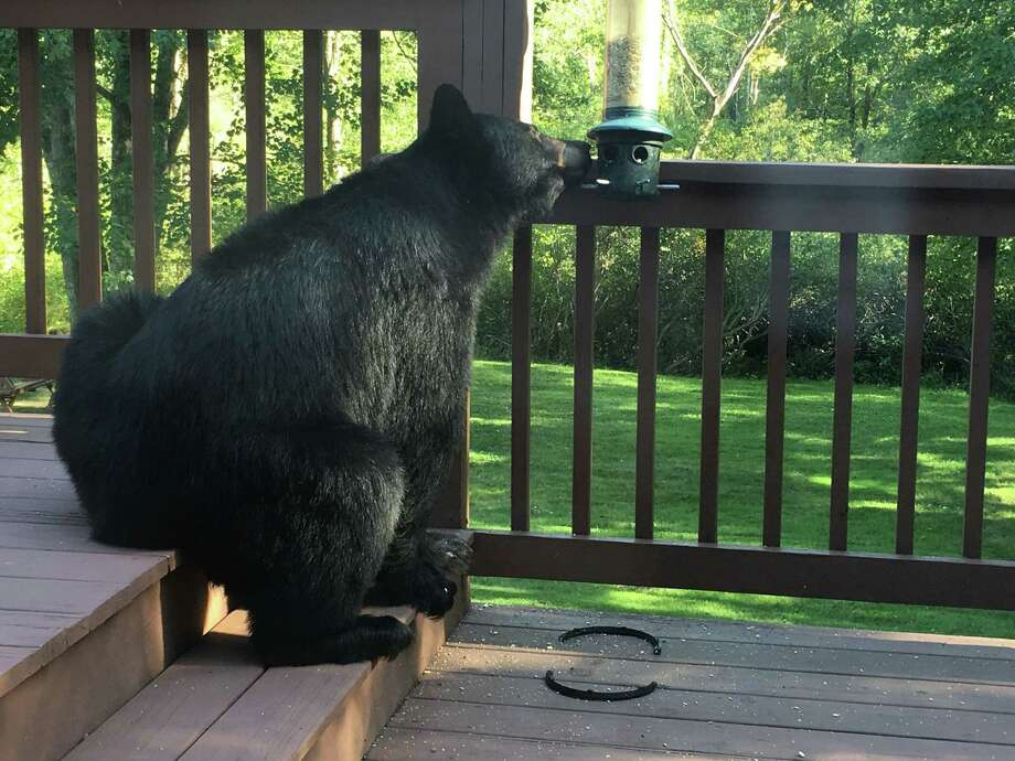 A hungry black bear made its way onto the porch of a Beaver Brook Road home on Wednesday, Sept. 17. Photo: Susan Herron / Contributed Phoot