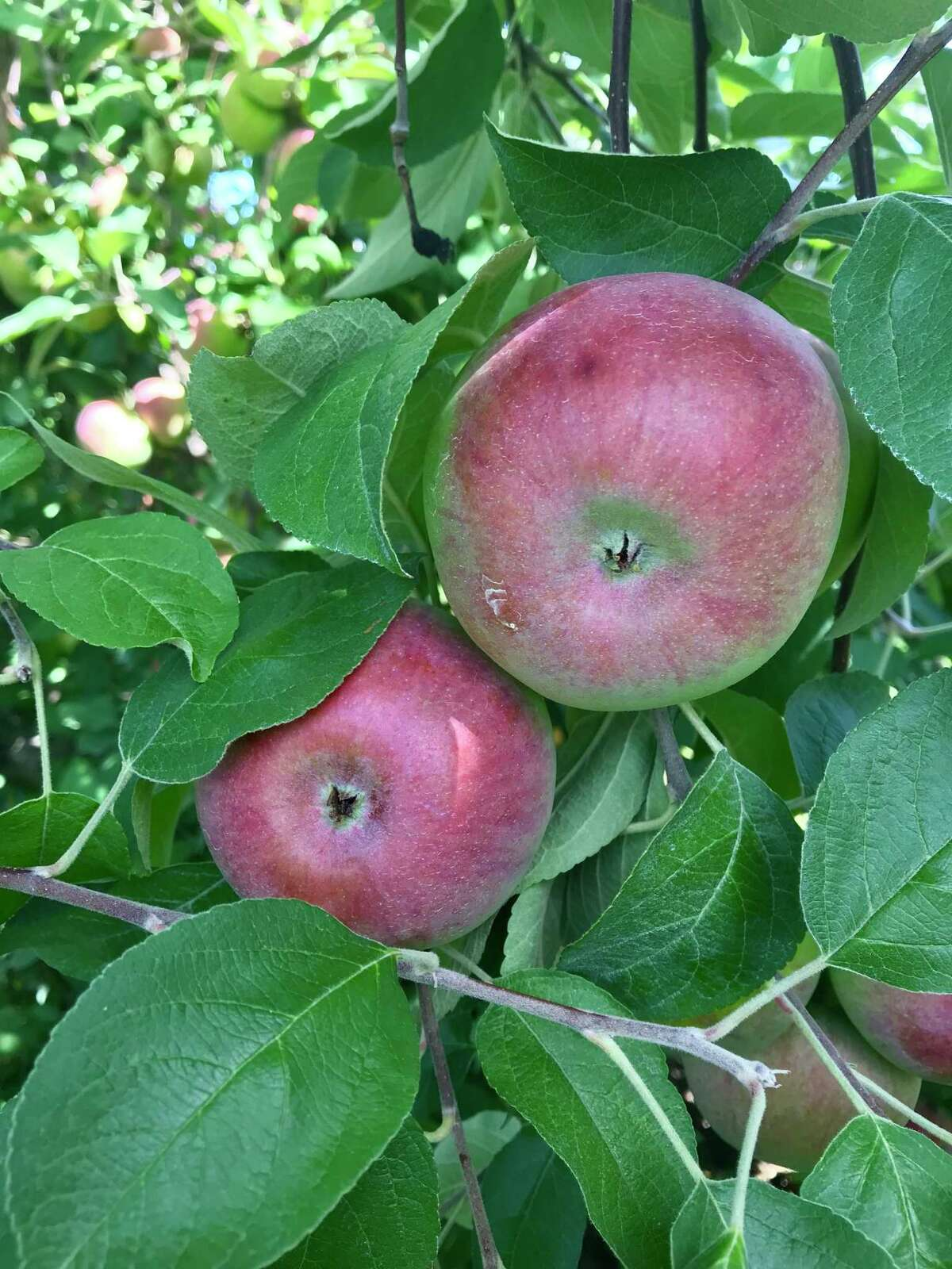A dash of spice and your autumn apples will become a lovely chutney.