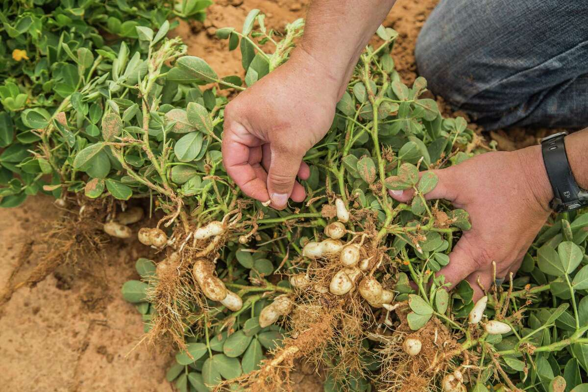 Texas is currently the second-largest peanut-producing state in the nation, following Georgia.