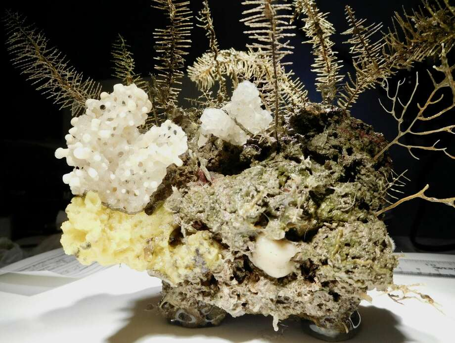 This grouping of sponges and black coral was discovered and collected during a week-long research cruise into the Gulf of Mexico in August. Researchers will use these specimens to learn more about the coral reef systems in the Gulf. (Mercer Brugler/Courtesy photo)