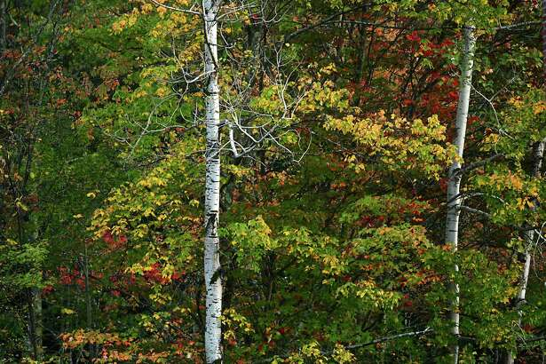 Birch trees are seen among trees starting to turn to their fall colors on Tuesday Oct. 1, 2019 in Averill Park, N.Y. (Lori Van Buren/Times Union)