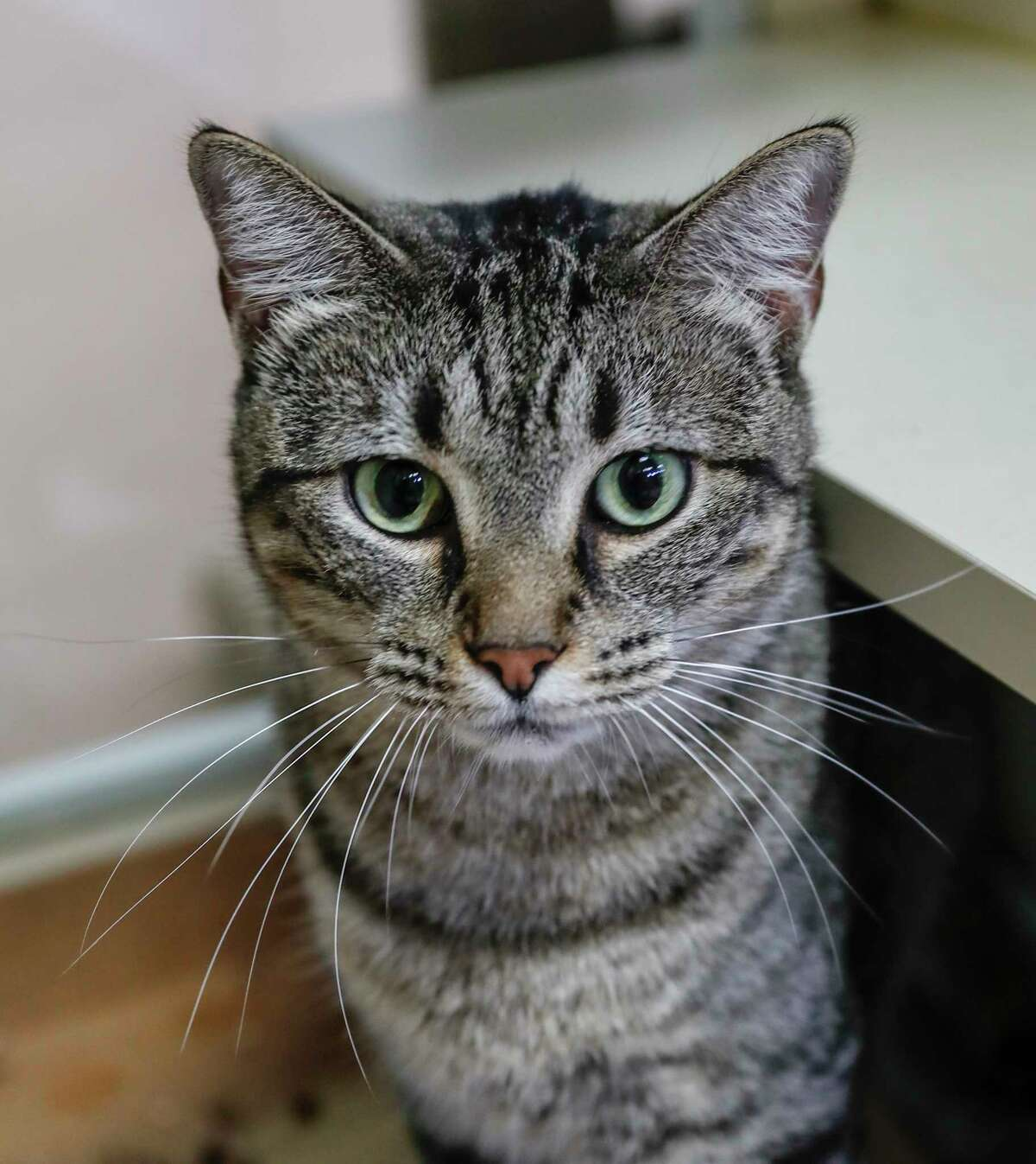 Rosie (ID: 9628) is an adult, female, brown tabby Domestic Short hair cat available for adoption from the Alvin Animal Adoption Center. Photographed, Tuesday, Oct. 1, 2019, in Alvin. Rosie is a striking girl with beautiful green eyes.