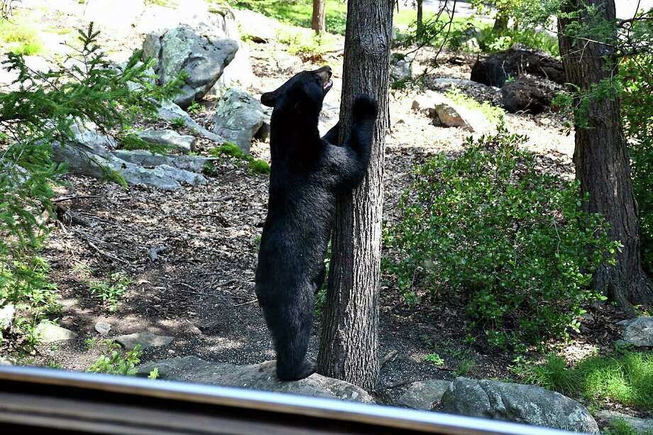 Black bear was seen on Carmen Hill Road in Brookfield on Aug. 29, 2018. Photo: Contributed Photo / Tina Heidrich / / Connecticut Post Contributed