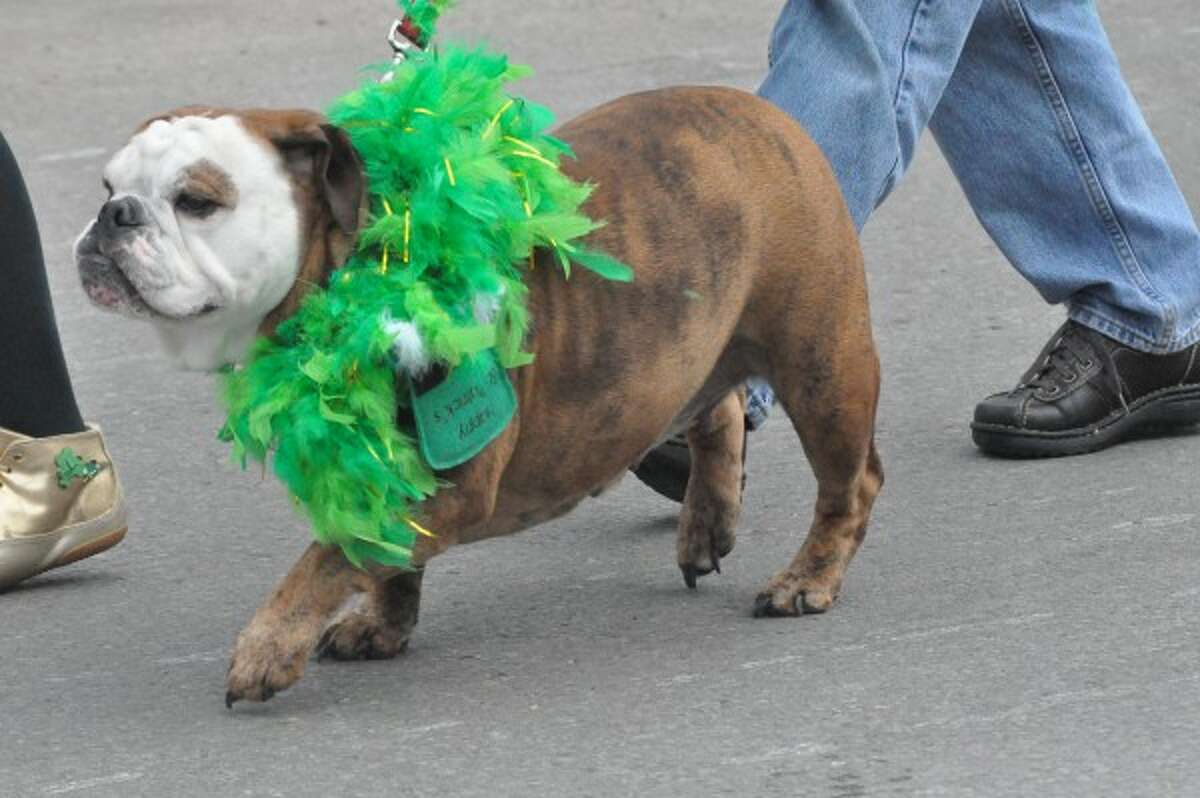 A bulldog shows Irish pride with a green boa during the 2014 Wee Parade in Manistee. (file photo)