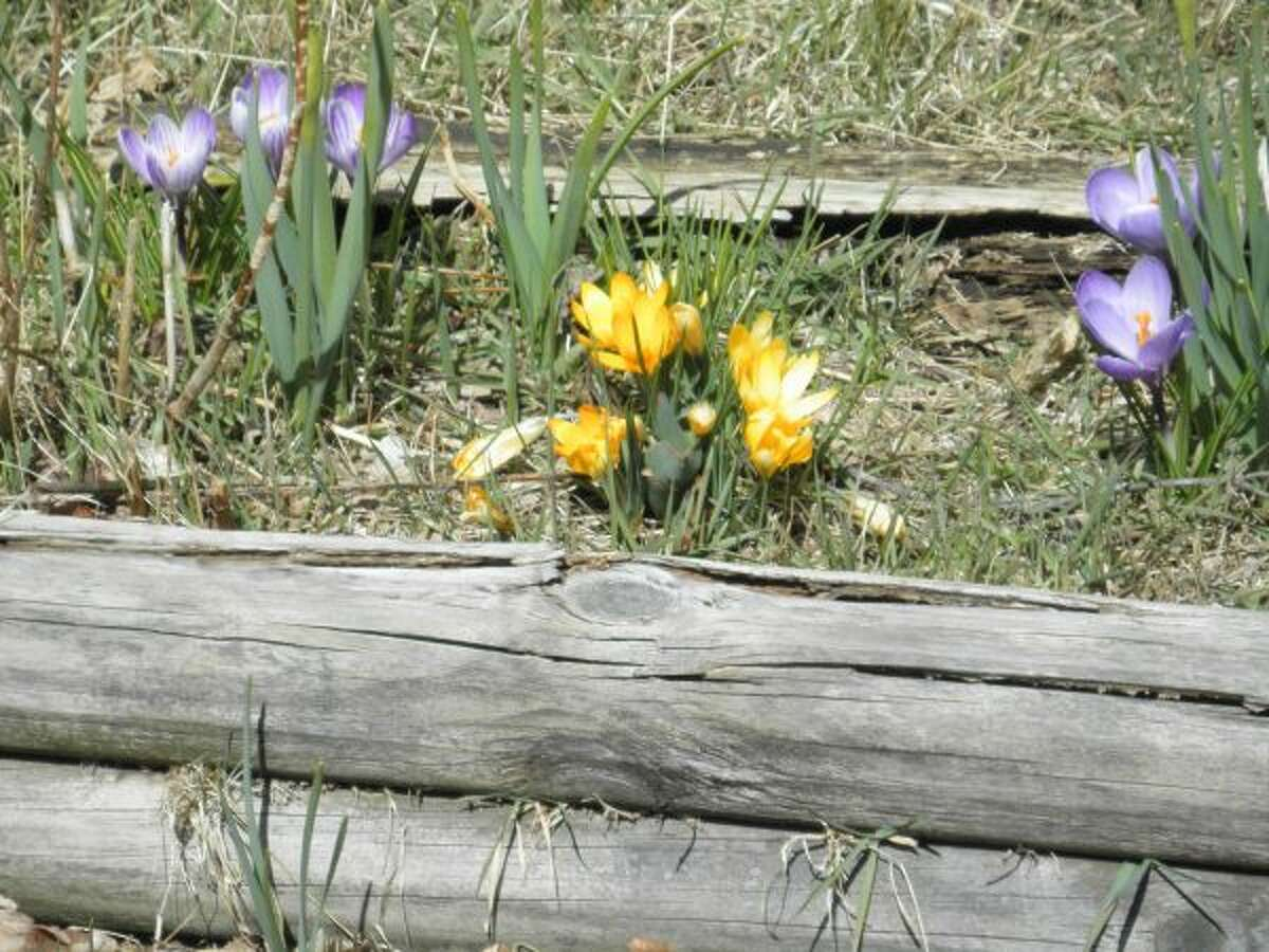 Many bulb plants are among the first signs of spring, such as the crocus. (Michelle Graves/News Advocate)