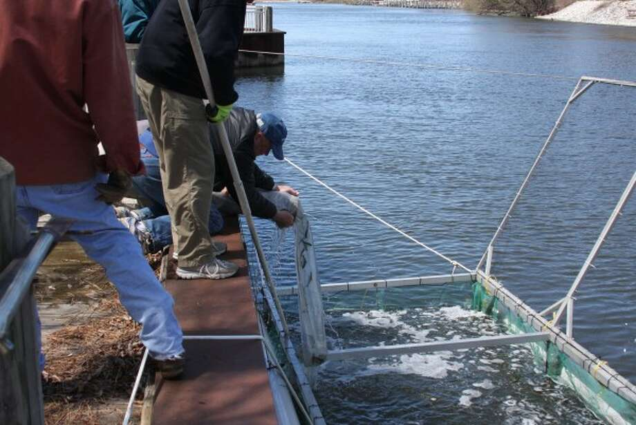 Around 23,000 young chinook salmon were stocked in the Manistee River Channel on Thursday afternoon. (Logan Hansen/Courtesy Photo)
