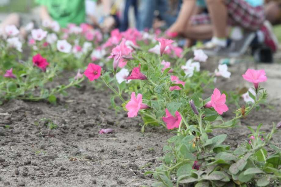Supertunia flowers, colored bubblegum, silver berry and fuchsia were planted Friday. They were purchased from Weesies Brothers Farms in Manistee by Blossom Boulevard volunteers. (Sean Bradley/News Advocate)