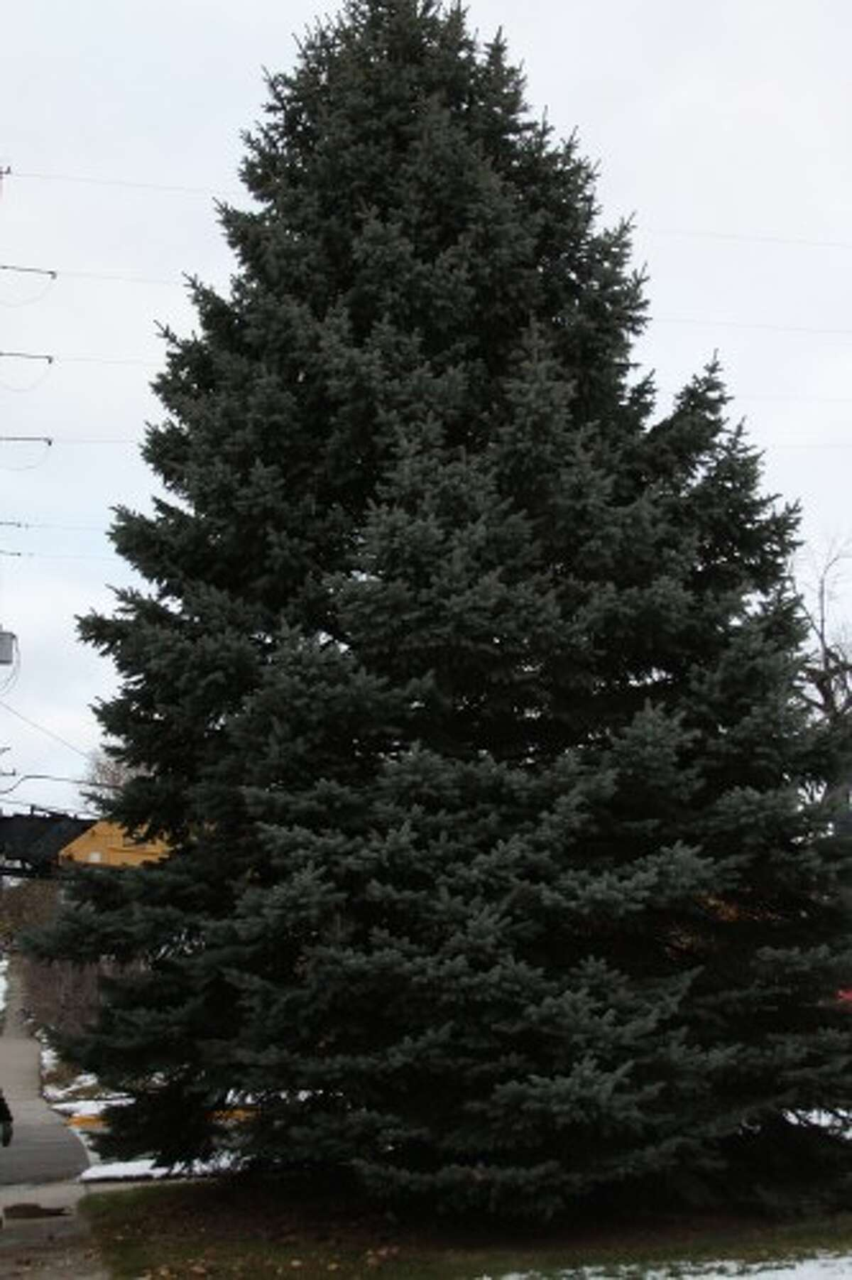 A 33-foot-tall pine tree, planted by Paul Kubacki in 1979, was chosen as the City of Manistee's tree for its 27th annual Victorian Sleighbell Parade. It was cut down Tuesday by City of Manistee Department of Public Works employees outside the Kubacki home on the 200 block of Eighth Street. (Sean Bradley/News Advocate)