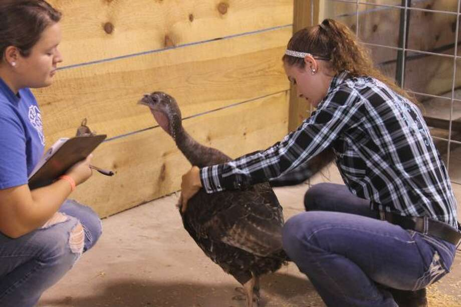 Samantha Wilkosz, of Manistee, 16, shows a broad breasted bronze turkey Friday during the 4-H Showmanship Sweepstakes at the Manistee County Fairgrounds in Onekama. Wilkosz helped originate the sweepstakes event at the fair, which started last year. (Sean Bradley/News Advocate)