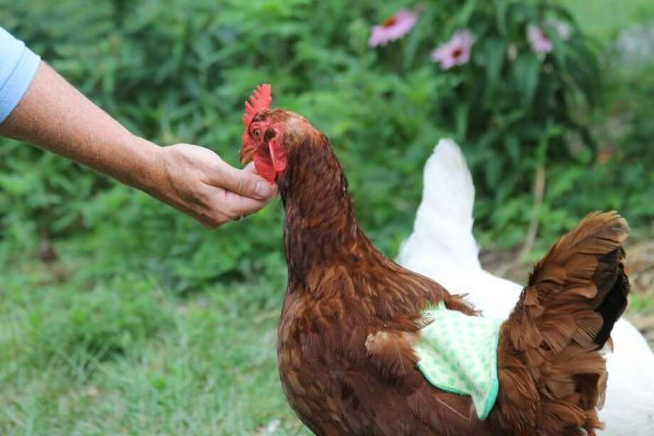 Mindy Sedelmaier extends a hand to feed a chicken, which lives free range in her backyard. (Ashlyn Korienek/News Advocate)