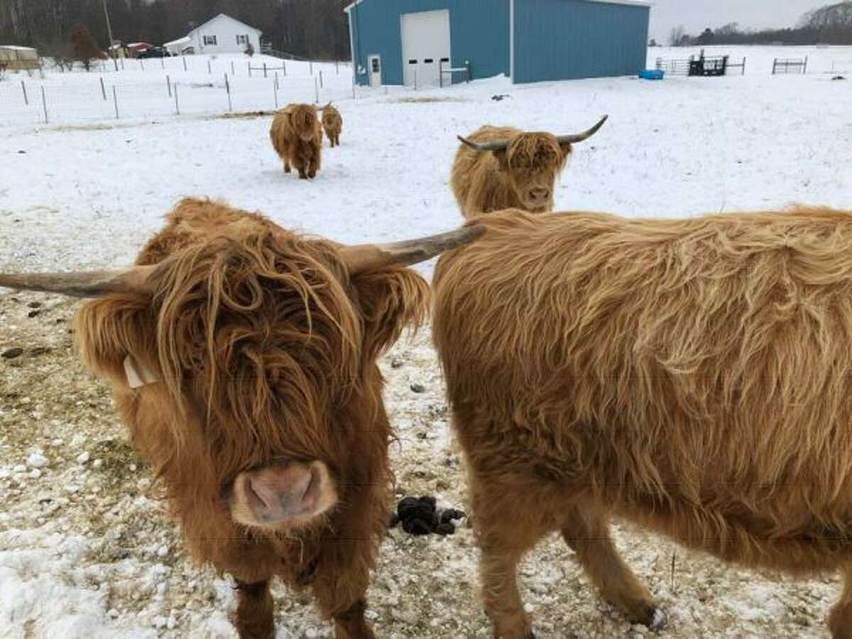 Scottish Highland cattle roam on a farm on Archer Road near Brethren. (Diana Six/Courtesy Photo)