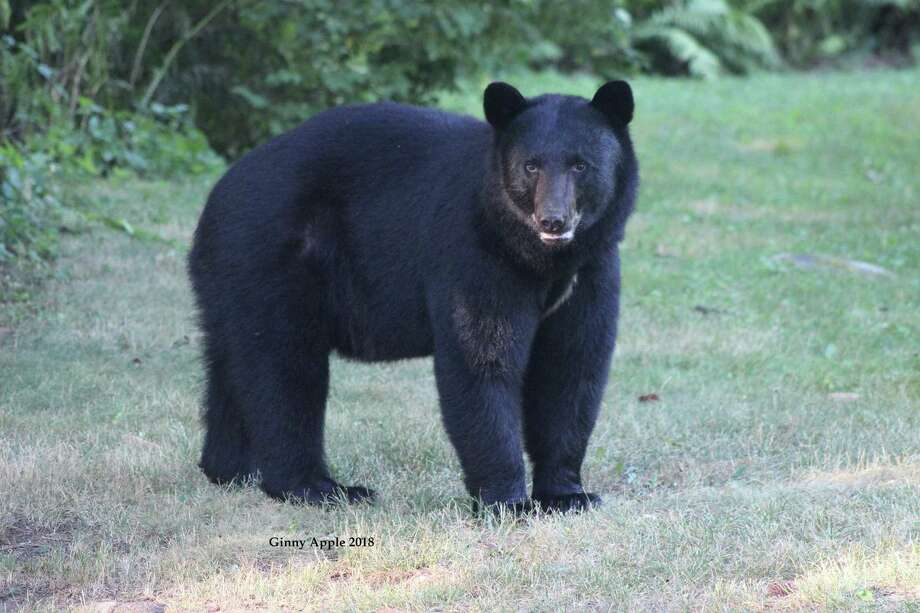 A black bear in Connecticut. Photo: Ginny Apple / Contributed Photo /