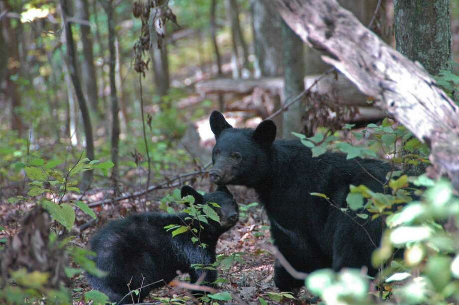 In this Oct. 11, 2008 photo provided by the Great Smoky Mountains National Park, a mother black bear and her cub are seen along Indian Grave Gap Trail near Townsend, Tenn. The Smokies' 520,000 acres in Tennessee and North Carolina are home to about 1,500 black bears. (AP Photo/National Park Service) **NO SALES** Photo: / AP / National Park Service