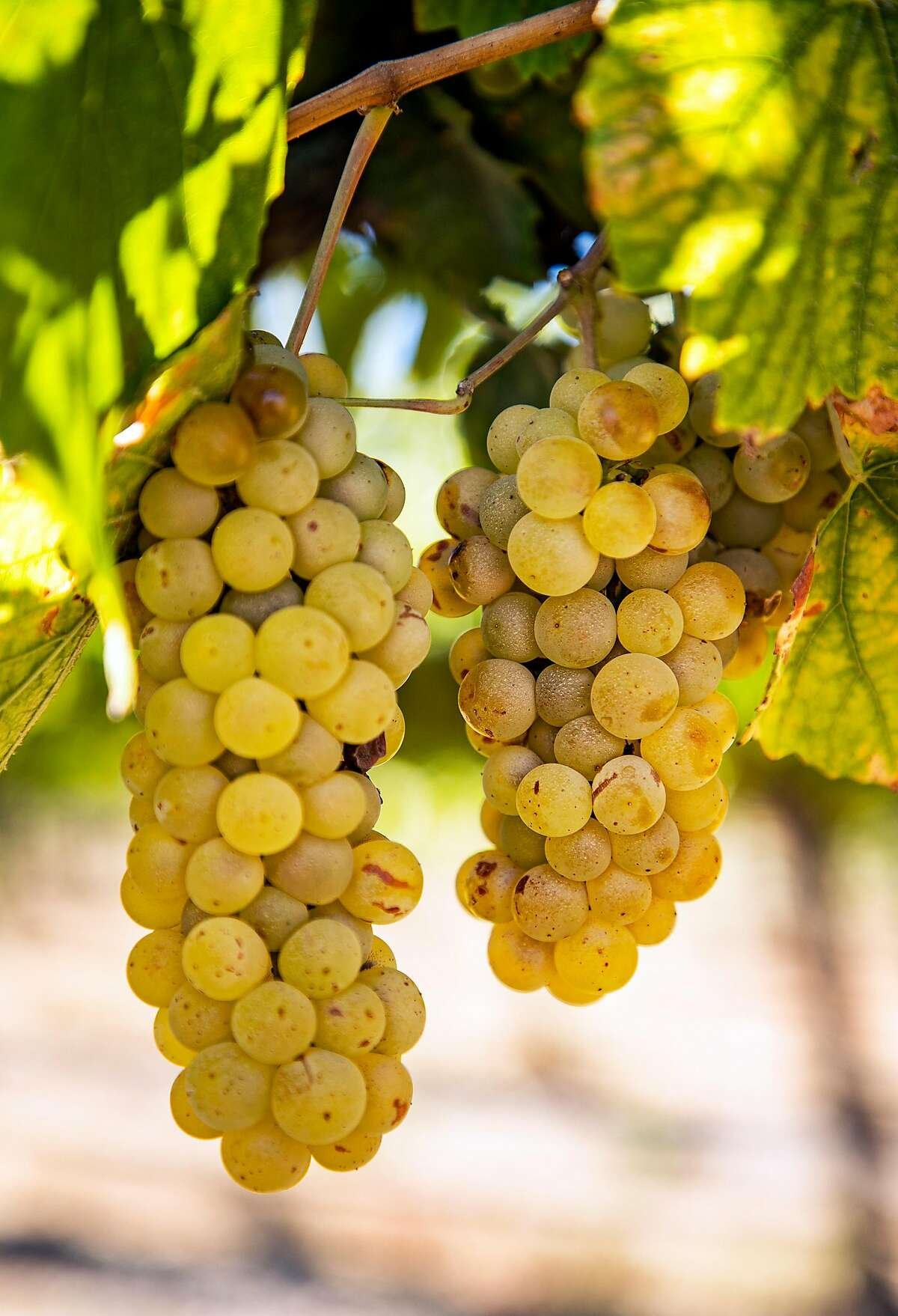 Chardonnay grapes grow at the Johnson Vineyard Company on Wednesday, October 2, 2019 in King City, Calif.