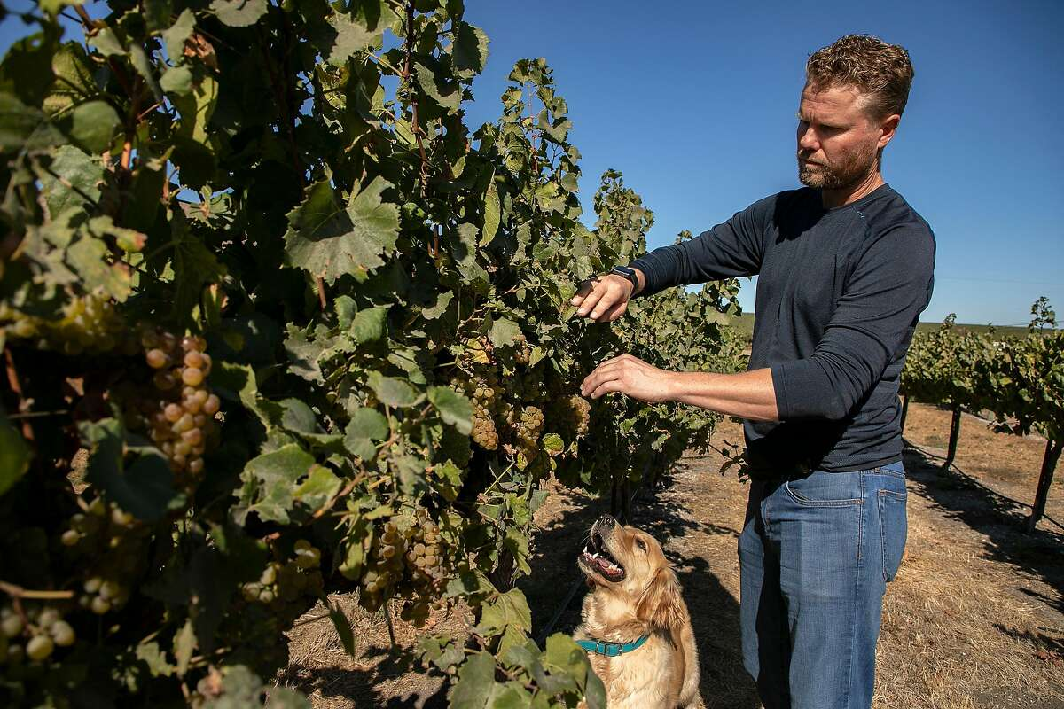 Paul Johnson tastes the Chardonnay grapes in his vineyard with his dog Pheiffer at Johnson Vineyard Company on Wednesday, October 2, 2019 in King City, Calif.