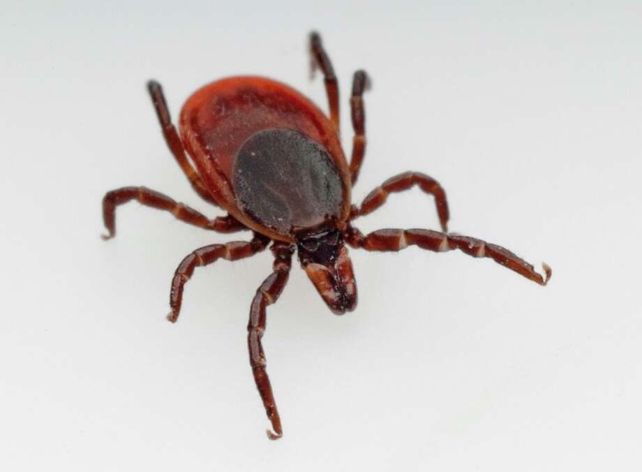 Powassan virus is spread through a bite from an infected black-legged tick, also known as the deer tick. Photo: Christian Delbert / TNS / Dreamstime