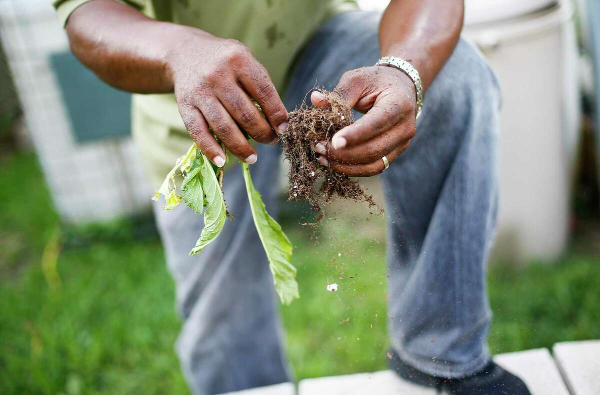 Efrem Jernigan shakes off the dirt from a plant in need of some extra care for his hydroponic garden in the Sunnyside neighborhood in Houston on Tuesday, Oct. 1, 2019. The project was selected as part of an initiative called Reinventing Cities, which recognizes low-carbon solutions in cities around the world. The project still needs to find investors, but construction is tentatively scheduled to begin in 2021.