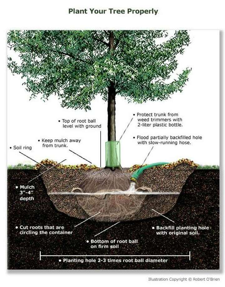An illustration from the Texas A&M Forest Service on planting trees. Photo: Illustration From: Texas A& Forest Service.