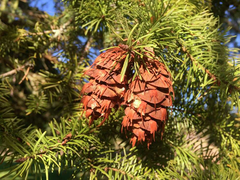 This March 27, 2019 photo shows pinecones growing on a tree near Langley, Wash. Blooms with a low moisture content, pinecones, seed heads, foliage, grains and grasses are the most popular drying choices for centerpieces or special occasion use. Be observant throughout the year for attractive additions to dried bouquets, wreaths or sachets. (Dean Fosdick via AP)