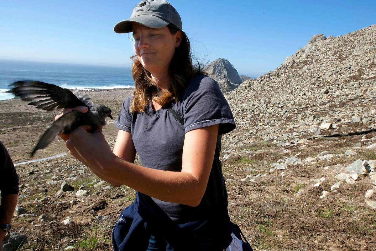 Melissa Pitkin, with the Point Reyes Bird Observatory, holds a Ashy Storm-Petrel chick, which is nesting along the cliffs on south east Farallon Island off the coast of San Francisco, Ca., on Wednesday October 12, 2011. When the mouse population dwindles