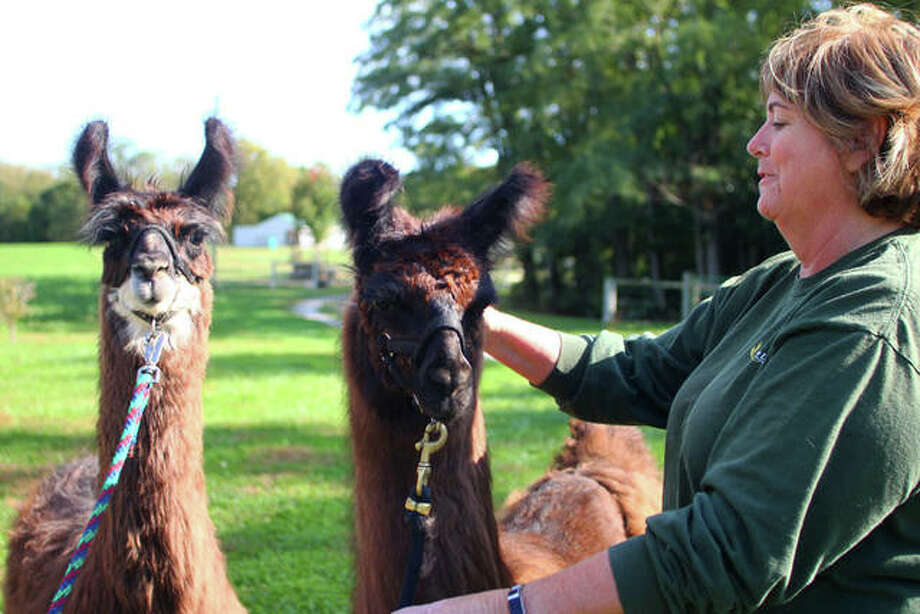 """Kris Allen grooms two of the youngest residents at K & T Llamas Friday. The farm, 533 Phillips Ferry Road, Bluffs, will host an """"open pastures"""" event, welcoming people to visit Sunday from noon to 4 p.m. The free event will include activities with the llamas, information about 4-H, kettle corn and the farm store will open. Photo: Rosalind Essig 