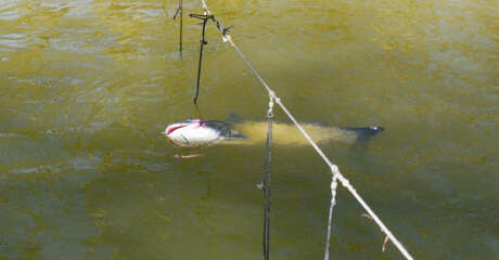 """A doomed catfish languishes on an unmarked, abandoned trotline set in a Texas waterway. State fisheries managers are proposing changes in rules for """"passive"""" fishing gear such as trotlines, jug lines and set lines in an effort to reduce damage to fish and wildlife and problems derelict devices present to boaters and law enforcement."""