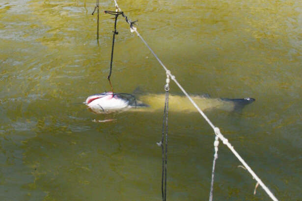 "A doomed catfish languishes on an unmarked, abandoned trotline set in a Texas waterway. State fisheries managers are proposing changes in rules for ""passive"" fishing gear such as trotlines, jug lines and set lines in an effort to reduce damage to fish and wildlife and problems derelict devices present to boaters and law enforcement."