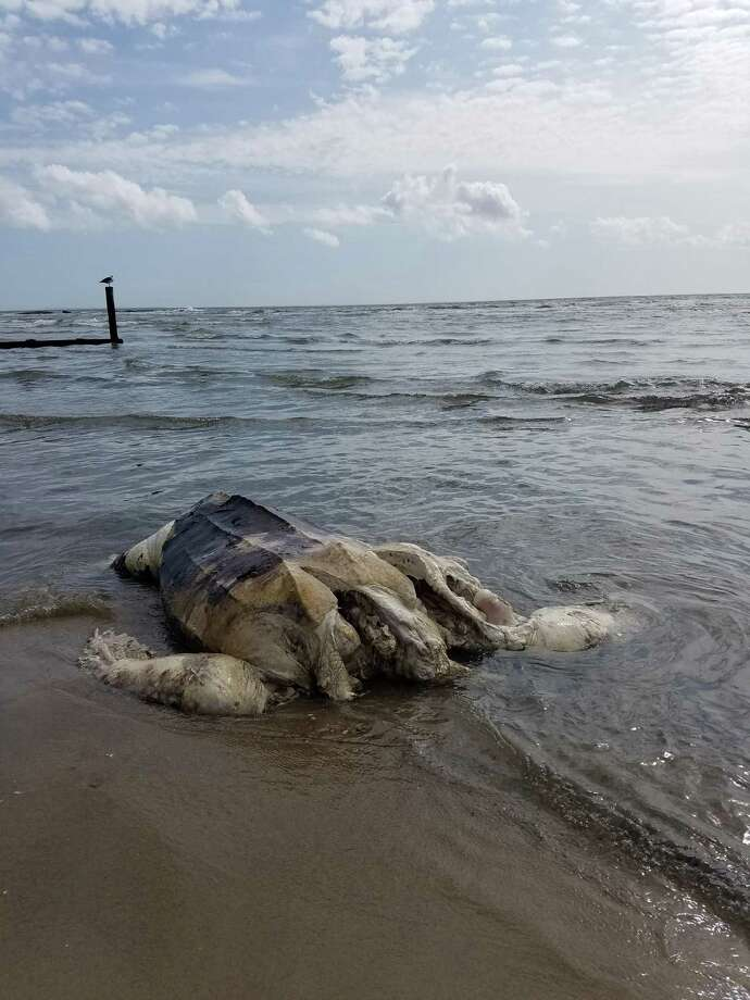 A Madison man reported finding a large sea turtle dead on the beach at Water's Edge Resort in Westbrook Monday. Photo: Christopher Walker