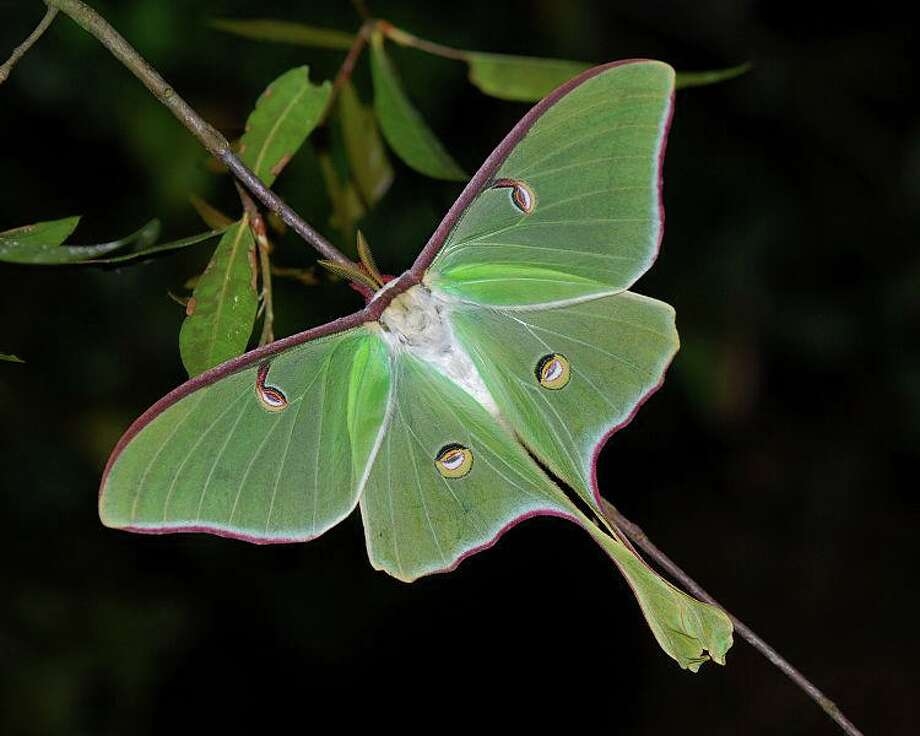 Before the cold weather returns, get outdoors and spend some quality time observing our flying jewels. Pictured is a luna moth. Photo: Flanders Nature Center / Contributed Photo