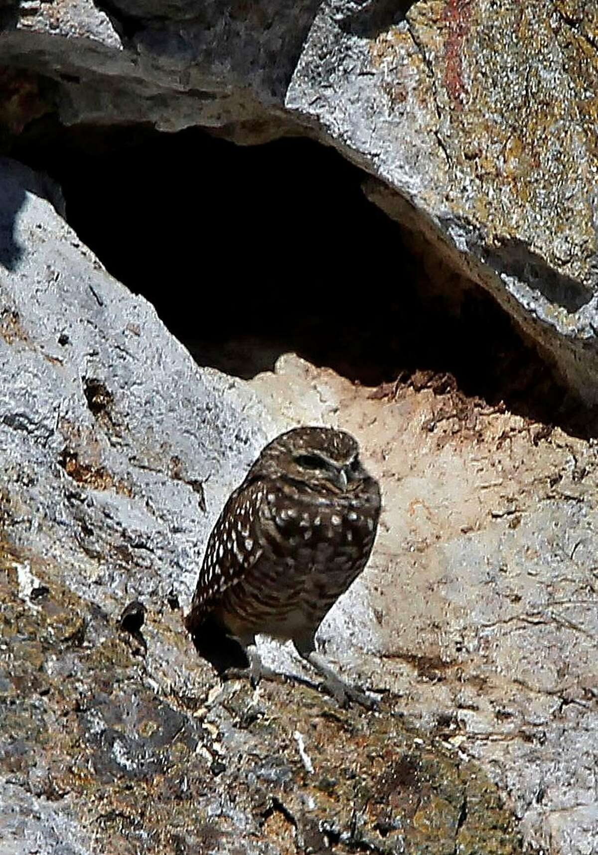 A Burrowing Owl sits along the cliffs near Rabbit cave, on Wednesday October 12, 2011, on northern edge of south east Farallon Island off the coast of San Francisco, Ca. The Burrowing owl's main diet is the many house mice found on the island. When the mo