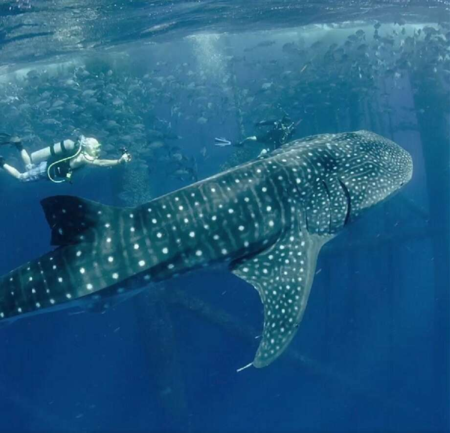 A whale shark was spotted swimming around in the Gulf of Mexico due to the efforts from the Texas Parks and Wildlife Department Artificial Reef Program. Photo: Chris Ledford From TPWD