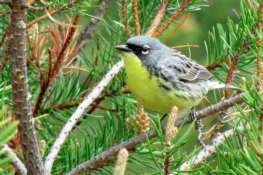 More than a half-century after declaring the Kirtland's warbler endangered, the federal government said the small, yellow-bellied songbird had recovered and was being dropped from its list of protected species.(AP Photo/John Flesher File) / AP2011