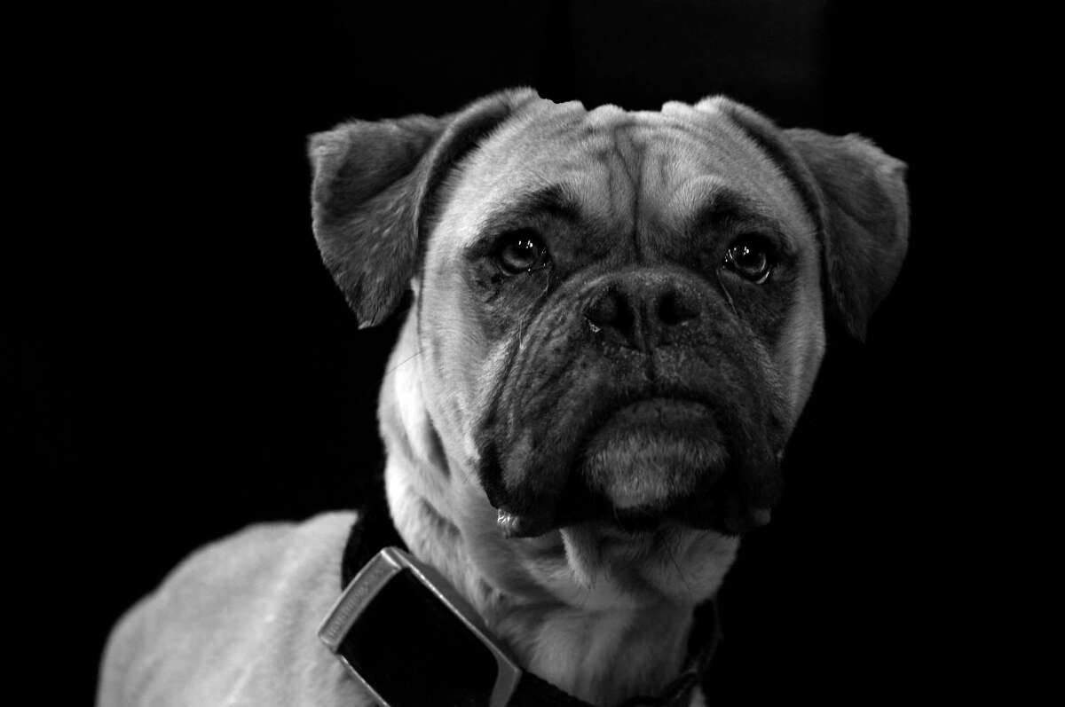 Photo of a mastiff in the Dog Show exhibit at the Westport Arts Center.