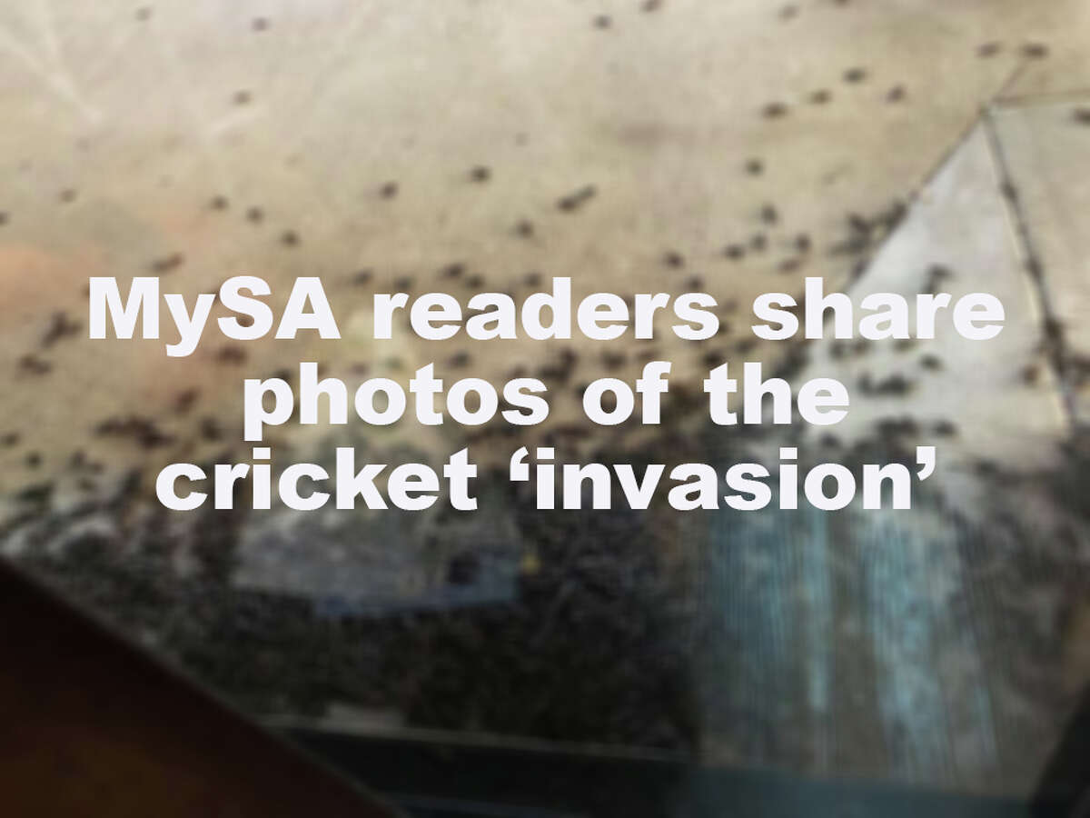 >>> CLICK THROUGH THE SLIDESHOW TO SEE PHOTOS OF THE CRICKET 'INVASION' HITTING SAN ANTONIO>>>