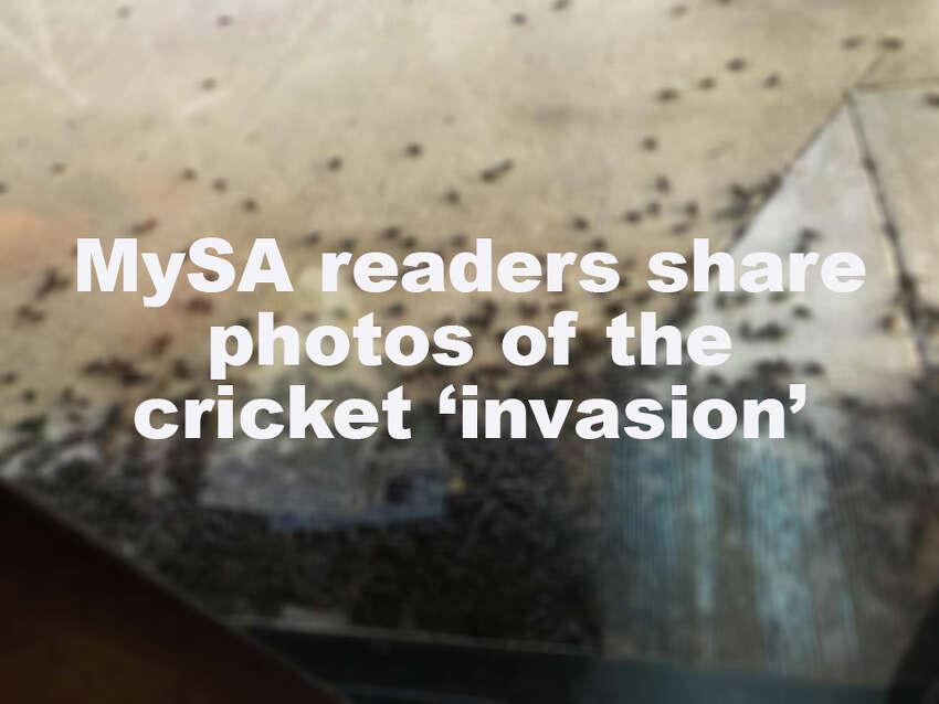 >>> CLICK THROUGH THE SLIDESHOW TO SEE PHOTOS OF THE CRICKET 'INVASION' HITTING SAN ANTONIO>>>
