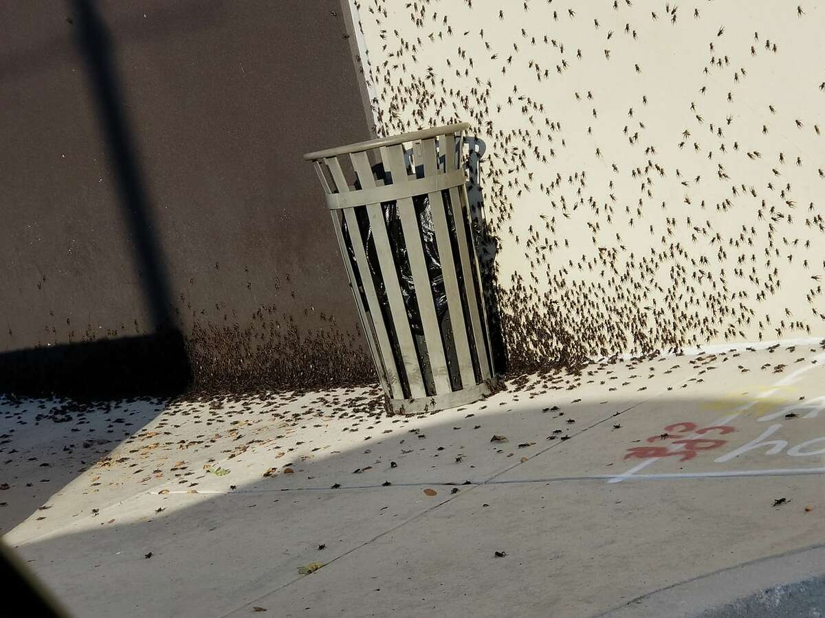 MySA readers share photos of the cricket 'invasion' in San Antonio in 2019.