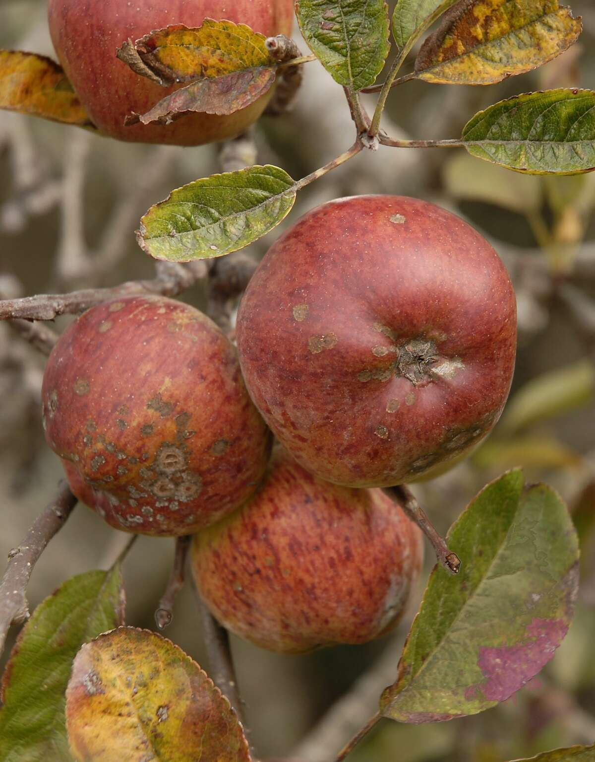 Apple Scab symptoms on fruit and leaves. Photo by Pam Peirce